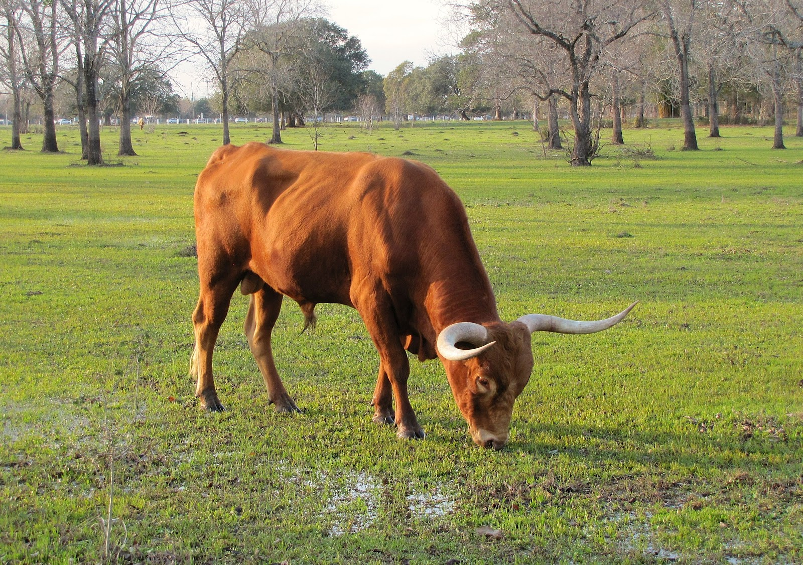 texas longhorn cattle at houston farm u0026 ranch pictures h town