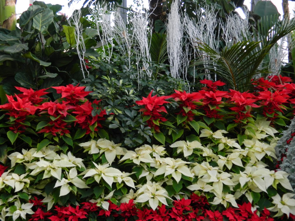 Allan Gardens Conservatory Christmas Flower Show 2014 layers white red poinsettias by garden muses-not another Toronto gardening blog