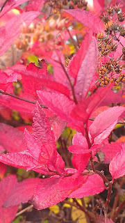 Brilliant raspberry colored leaves