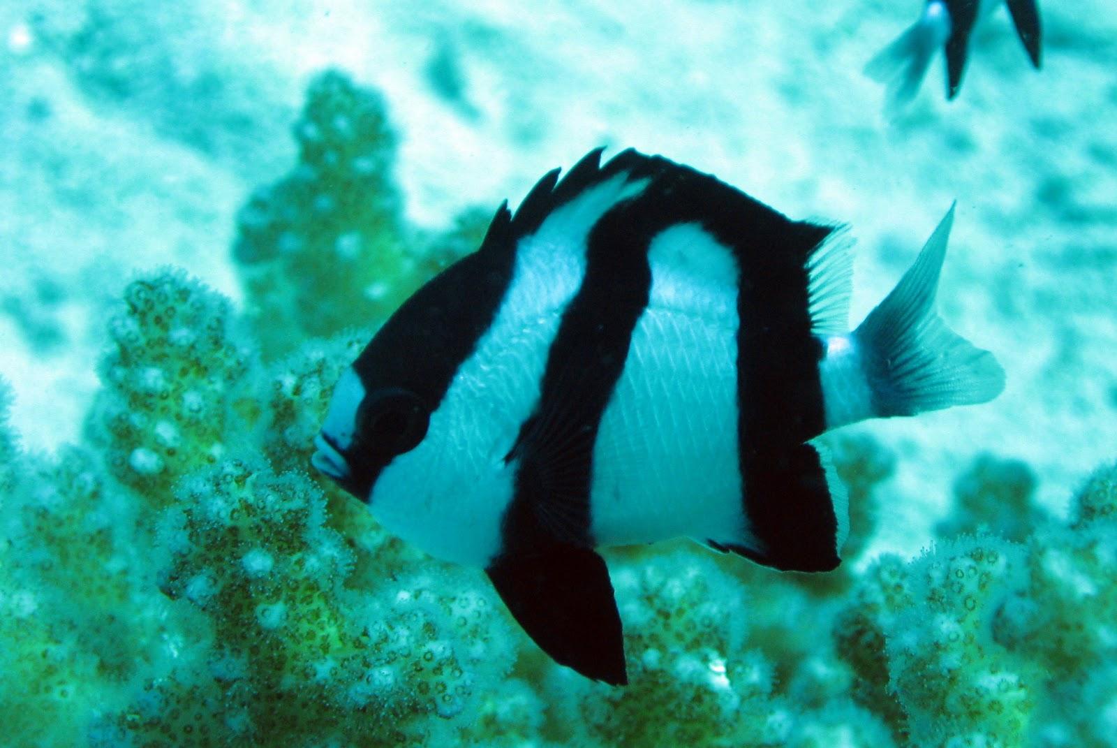 Resultado de imagen de pez 3 rayas damisela
