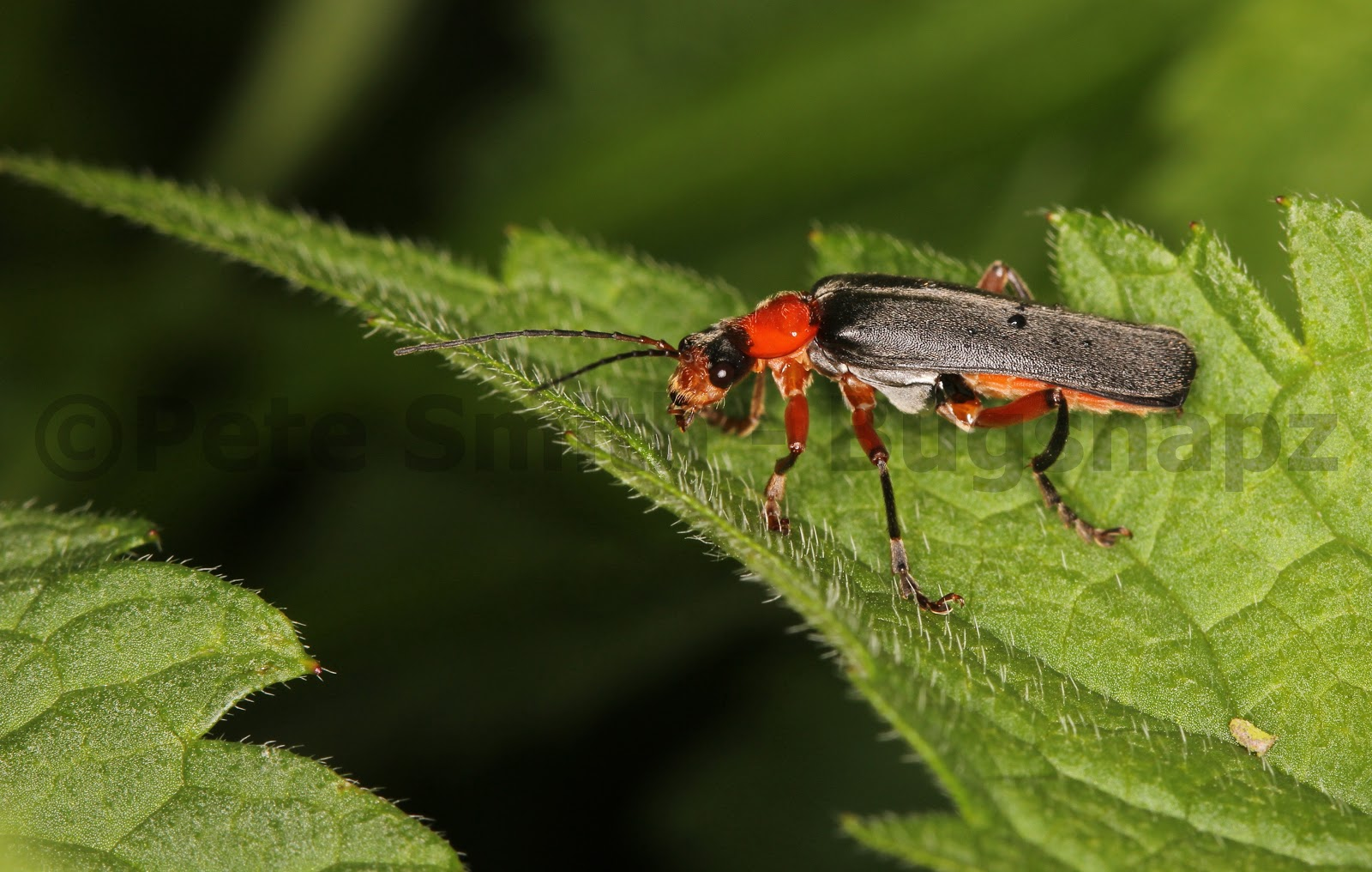 soldier beetle cantharis rustica bugsnapz