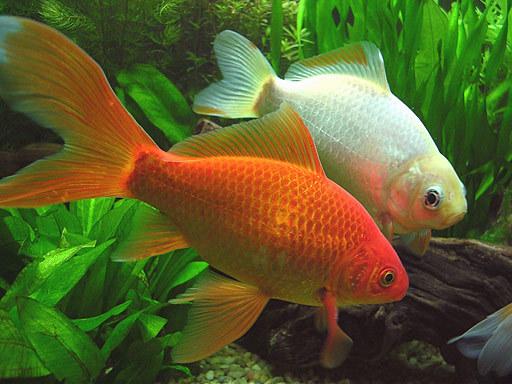 золотой карась в аквариуме видео