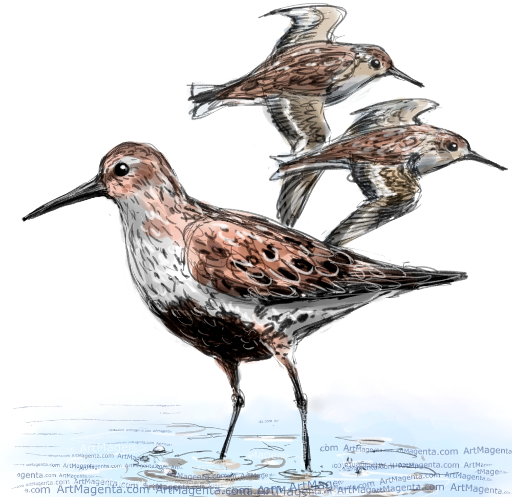 Dunlin sketch painting. Bird art drawing by illustrator Artmagenta