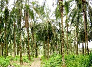 sejarah-kelapa-sawit.jpg