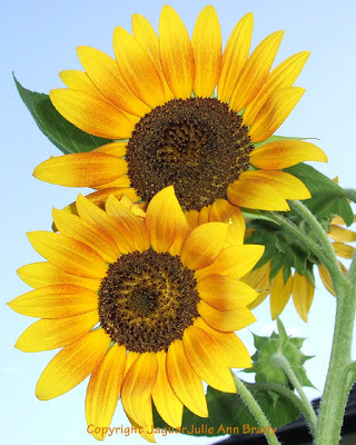 Two Pretty Sunny Yellow Sunflower Blossoms