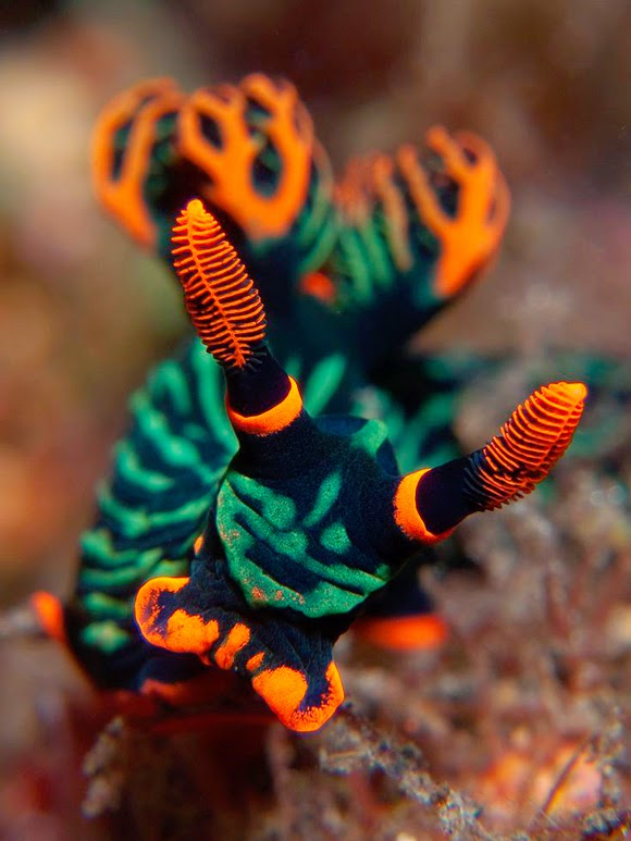Nembrotha kubaryana, Variable Neon Slug, Nudibranch,