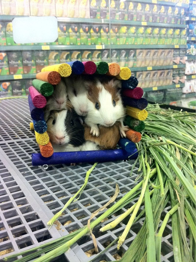 funny animal pictures, guinea pigs pile