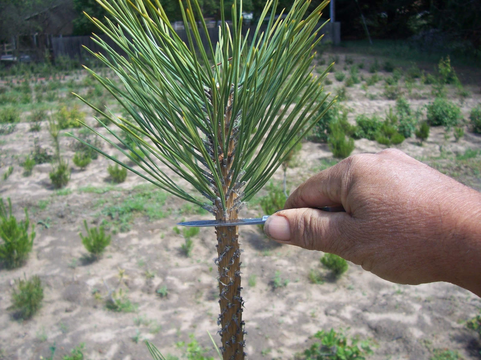 Tree Ring Nk