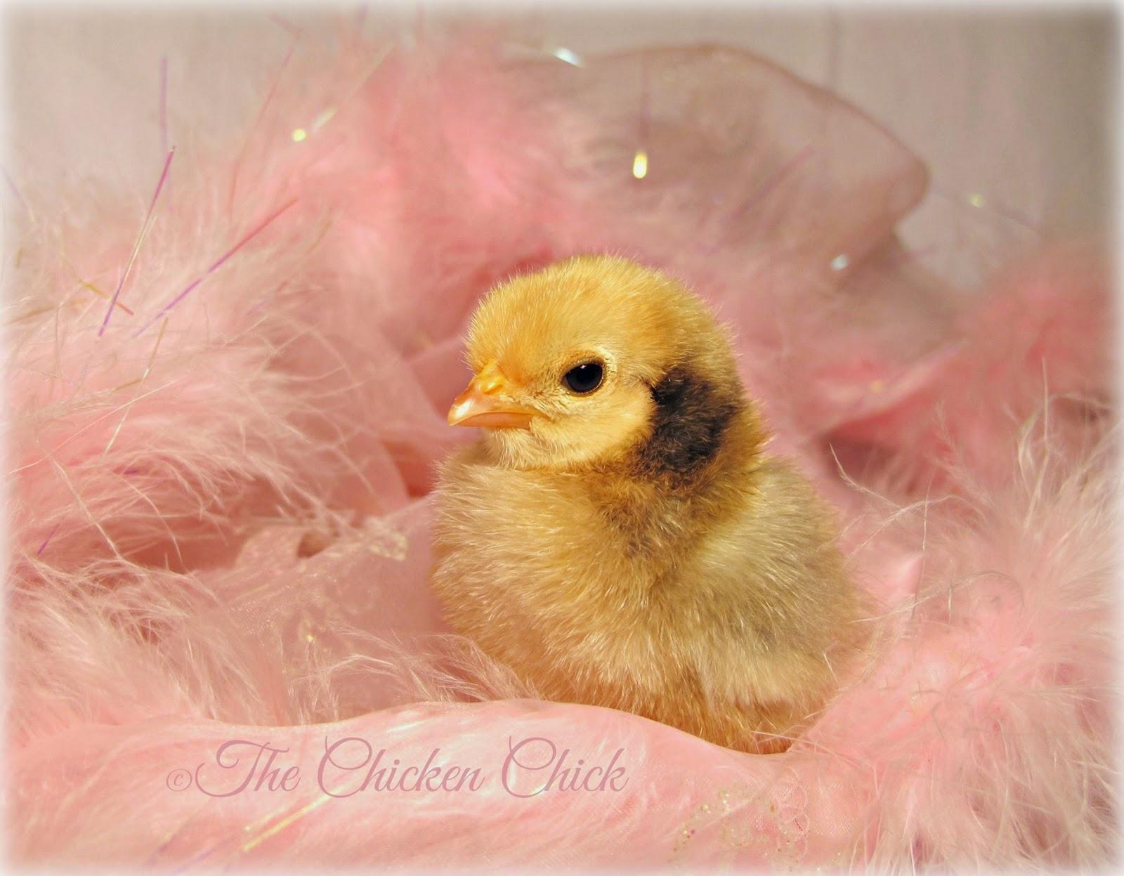 Serama chick