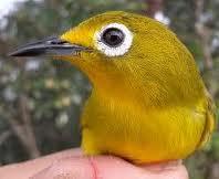 Ciri ciri burung pleci jantan|Bola mata besar dengan garis melingkar kacamata yang putih solid, tajam dan tebal
