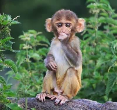 Monyet Rhesus Menghisap Jempol Setelah Tersengat Daun Jelatang.