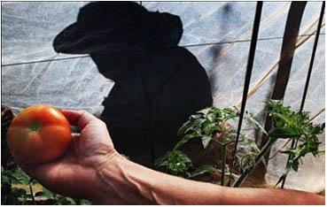 solanum lycopersecum (tomate)