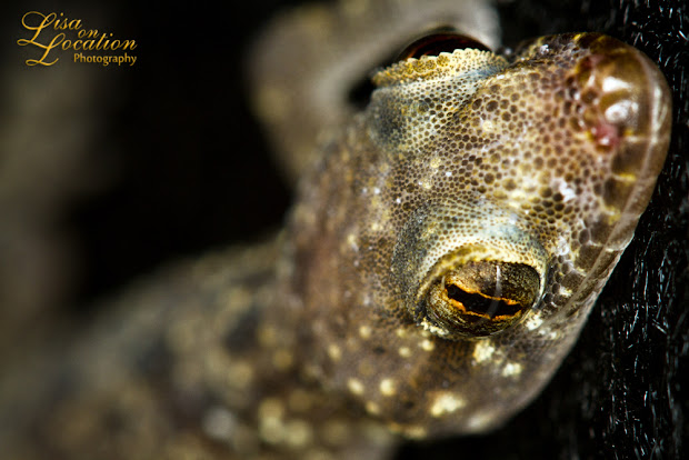 365 photo project, Mediterranean gecko macro, Lisa on Location photography, Austin, San Antonio, San Marcos, New Braunfels