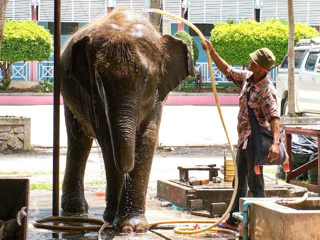 Lavage d'éléphant au Wat Bang Kung