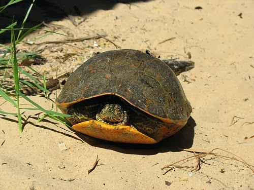 Alabama Red Bellied Turtle Alabama Red Bellied Turtle