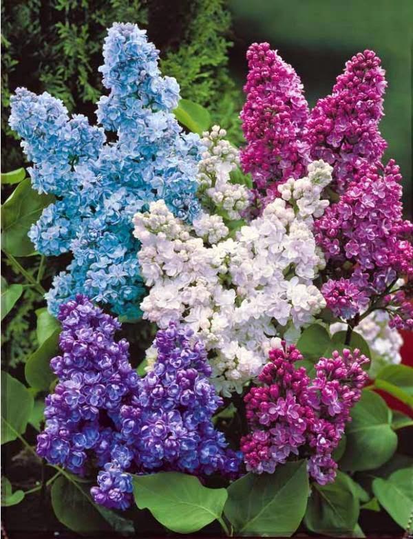 Entre flores lilas - Lilas des indes blanc ...