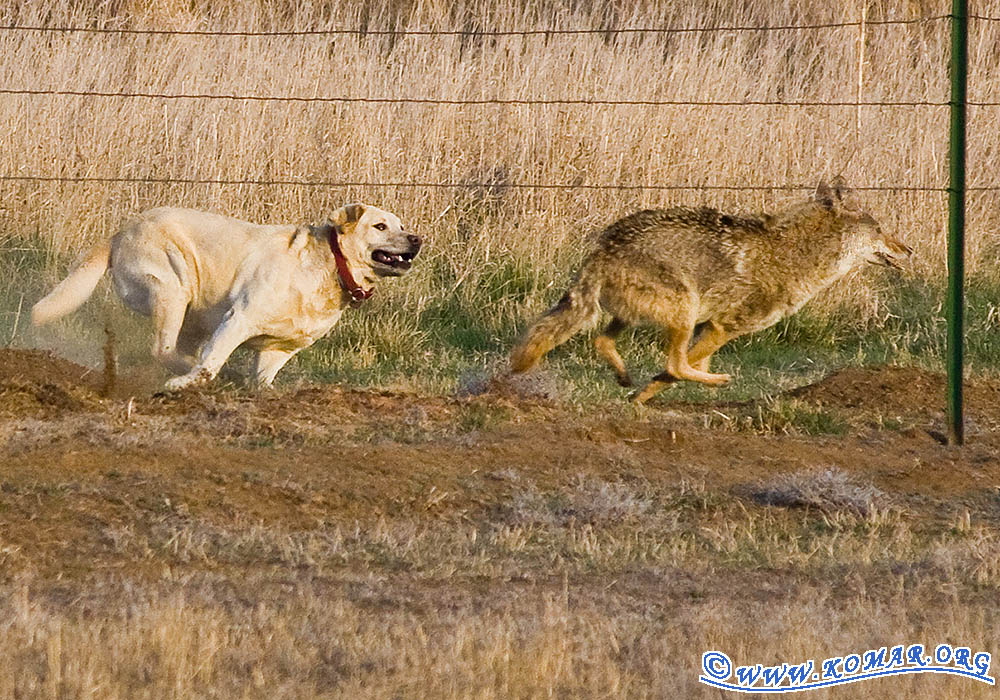 Can A Dog Fight A Coyote