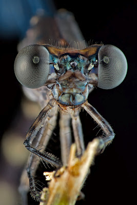 close up of head and eyes of a damselfly