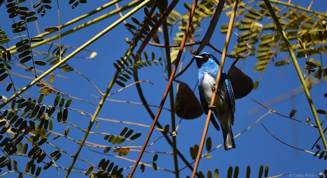 Swallow Tanager Tersina viridis Saí-andorinha Tersina
