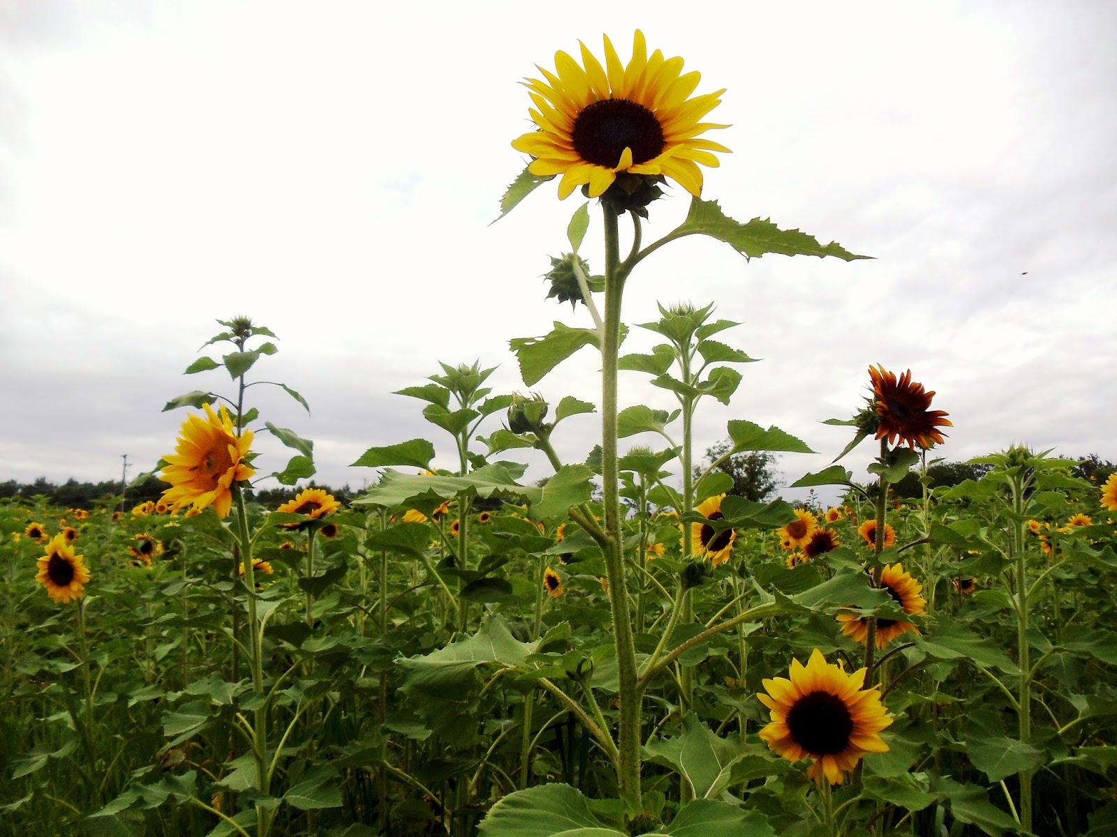 Summer of Sunflowers Burnside Farms