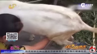 China - Male Goat Produces Milk