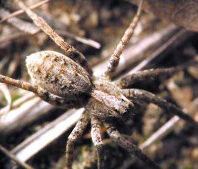 Fotos arañas venenosas Lycosa argentinas (Lycosa cosquin, la Lycosa pampeana y Lycosa pardalina).