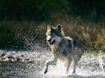 Os Lobos Envelhecem