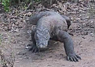 Komodo dragon attack leaves elderly woman wounded
