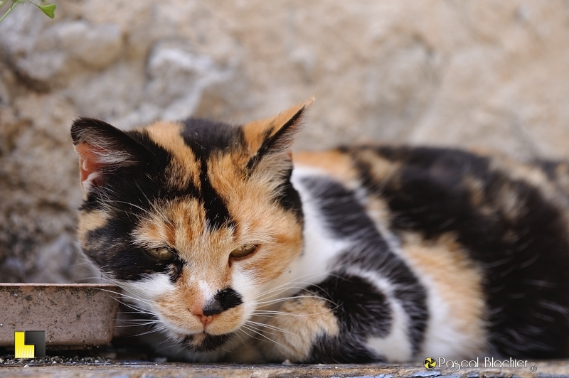 chat trois couleurs valdrome photo pascal blachier