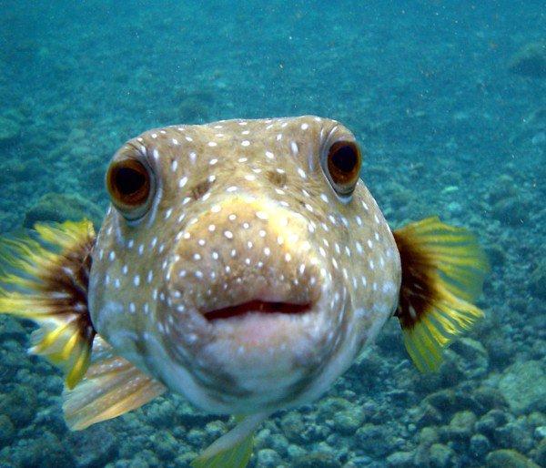 Tetrodotoxin (found in Puffer fish)