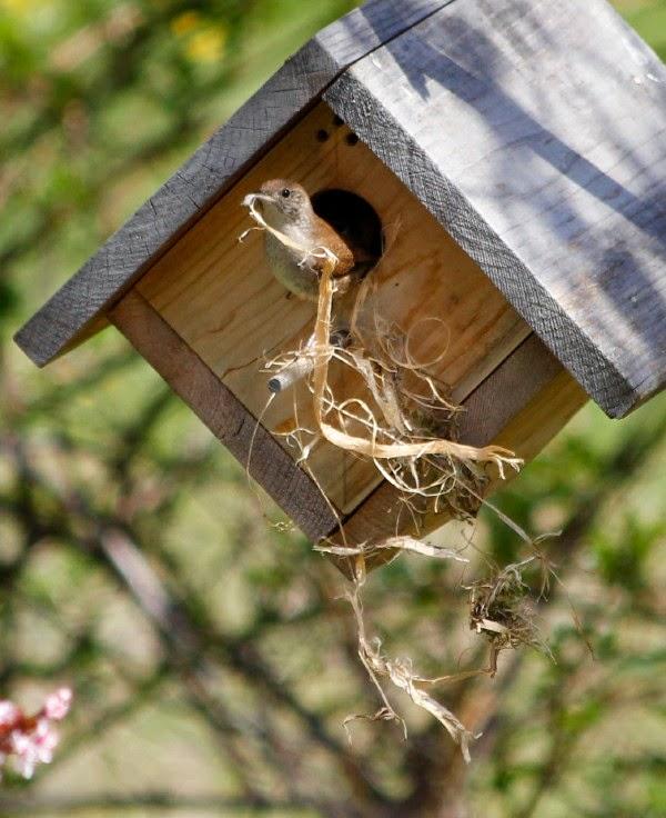 house wren removes sparrow nesting material