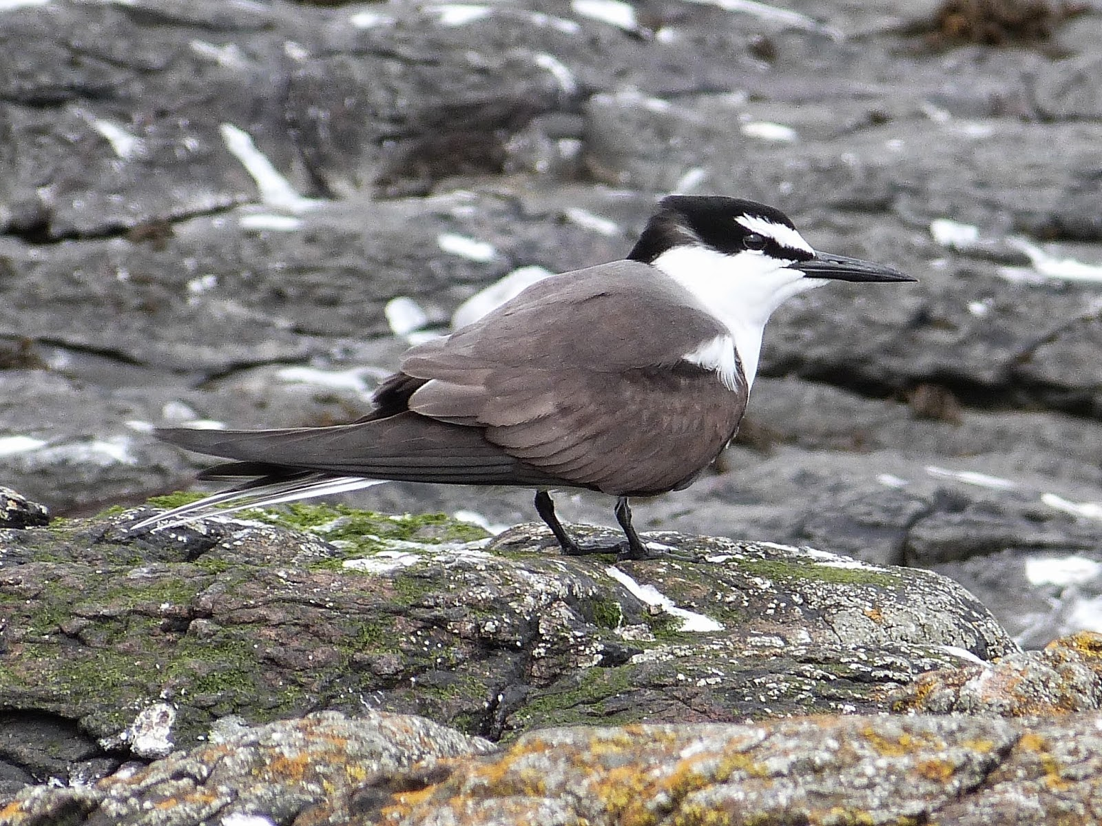 Bridled tern - Farne Islands, Northumberland - David Kinchin-Smith