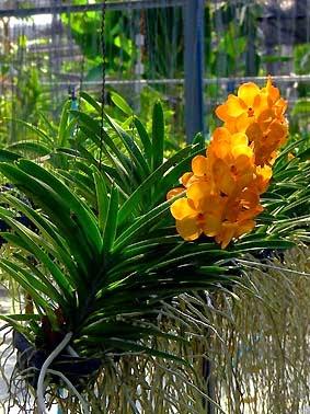 Orange orchid picture