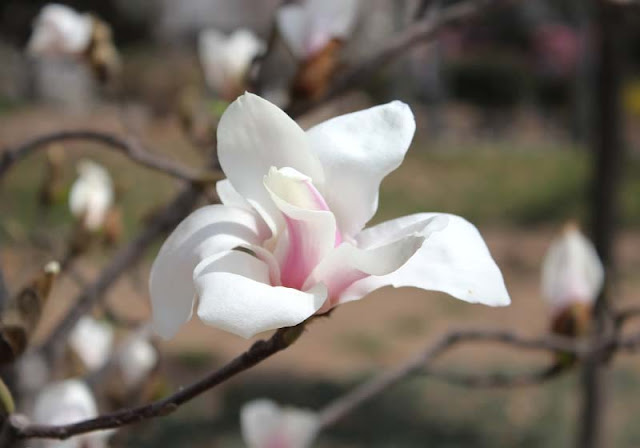 Magnolia Flower Pictures