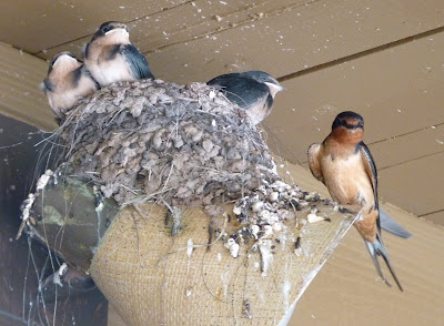 Barn swallow chicks and one parent