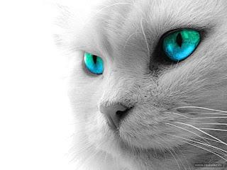 renkli gözlü kedi arkaplan resimleri van kedisi siyam kedisi