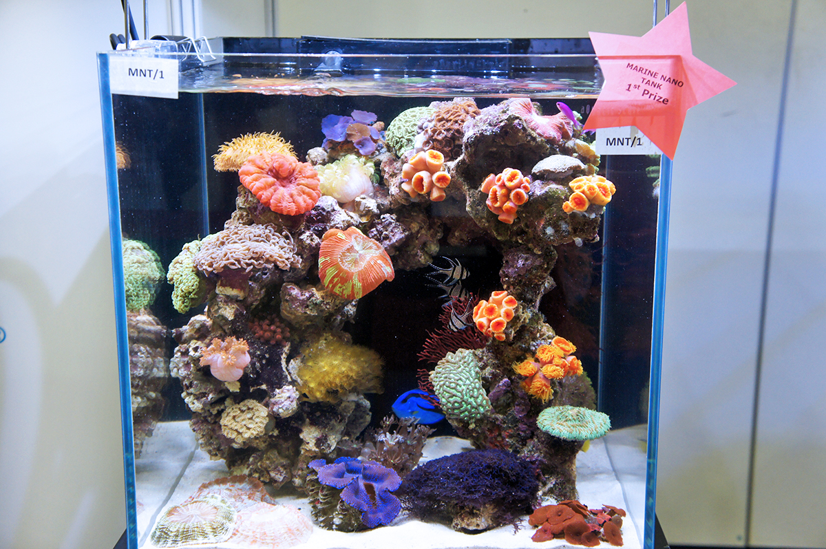 Freshwater aquarium fish from asia - Discus Are A Genus Of Three Species Of Freshwater Fish Native To The Amazon River Basin Discus Are Popular As Aquarium Fish And Their Aquaculture In