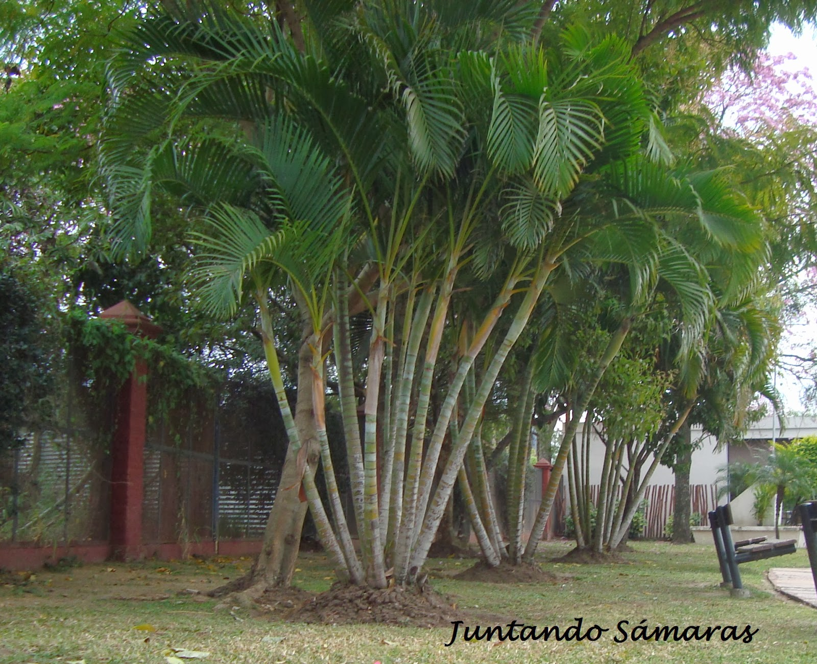 Palma de jard n imagui for Jardines con palmeras