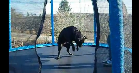 Dog Gets Excited For Trampoline