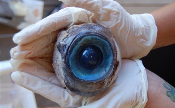 Aneh!! Bola Mata Raksasa Ditemukan di Tepi Pantai