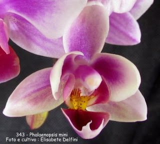 Phalaenopsis mini do blogdabeteorquideas