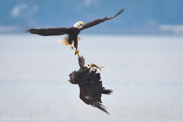 Two bald eagles in air battle crash-land at airport