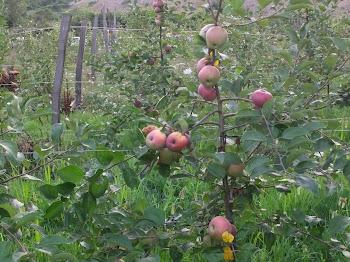 bahçemdeki bodur elmalar...