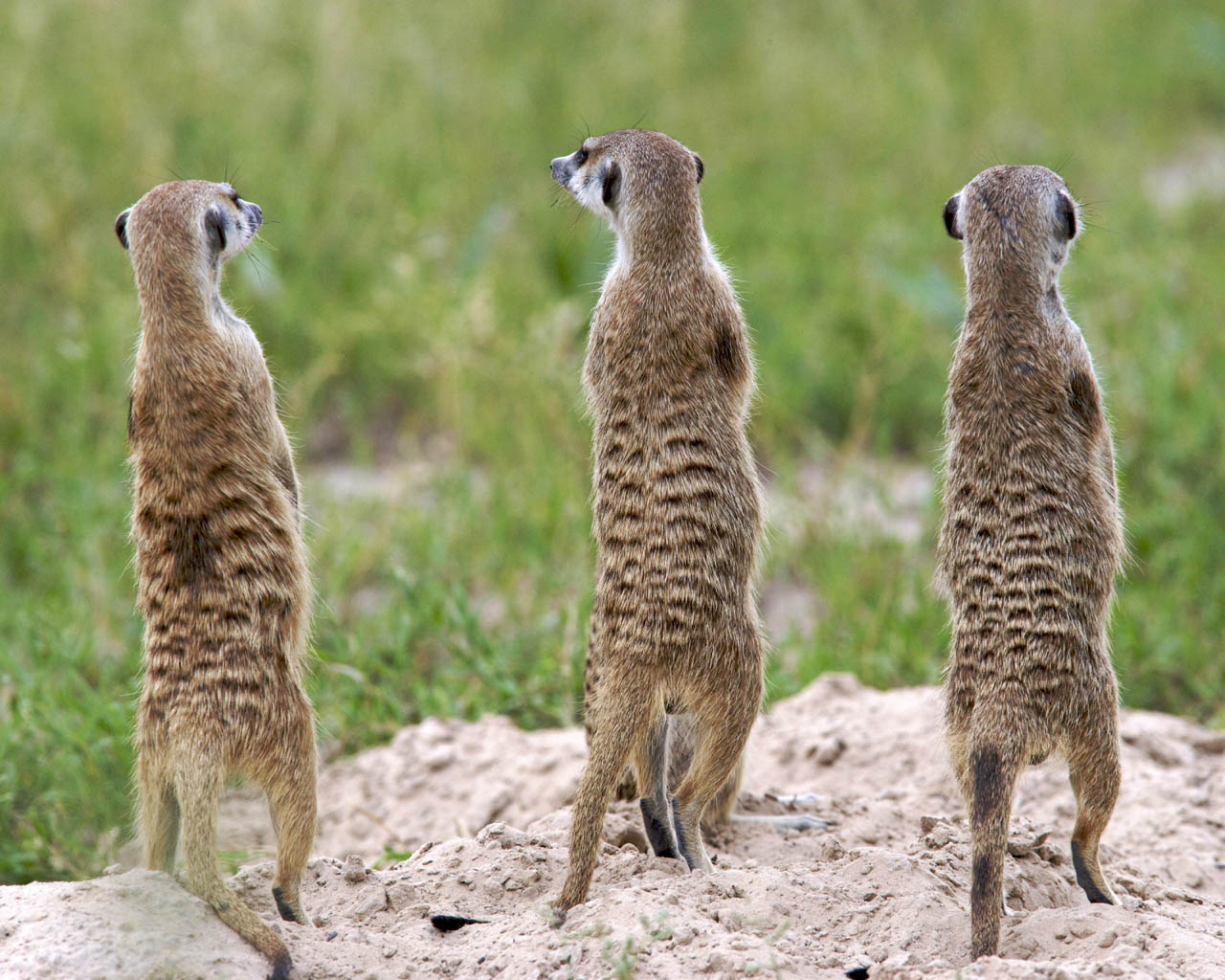meerkats wallpapers fun - photo #23