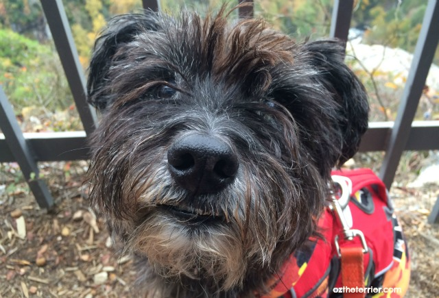 Oz the Terrier 5 Ways to Recognize Vision Loss in Dogs