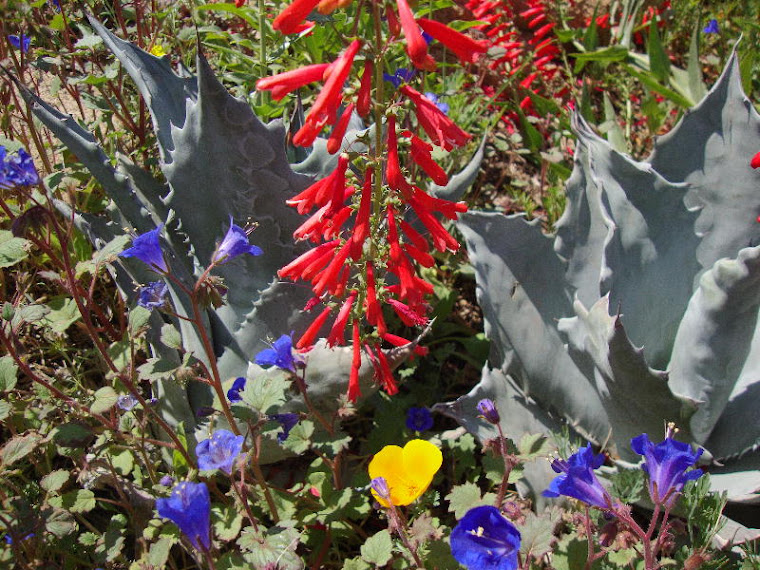 Penstemon in captivity at the Desert Botanical Gardens