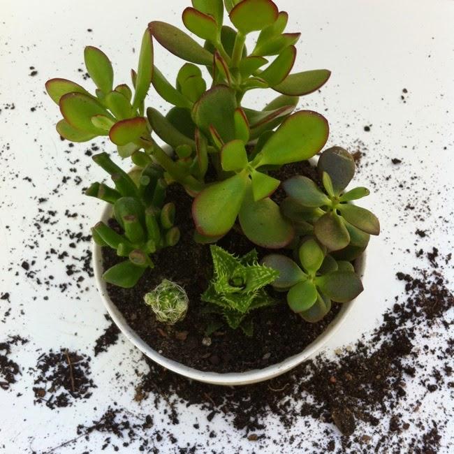 mini jardim suculentas: : Jardim de Cactos e Suculentas – Cactus and Succulents mini garden