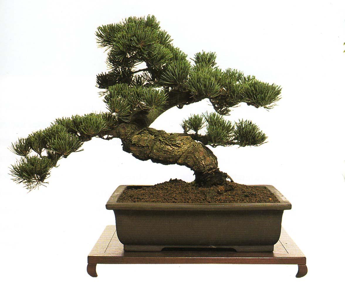 All hd bonsai for Bonsai tree pics