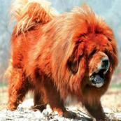 10 raças de cães tão caras quanto um automóvel