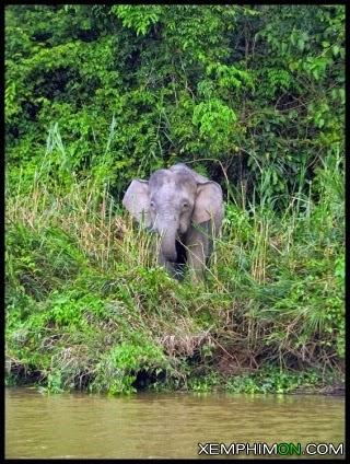 Loài Voi Lùn Ở Borneo